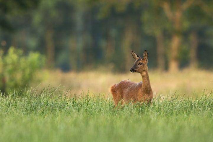 Reeën, Natuurreservaat Ile de Rhinau, Frankrijk