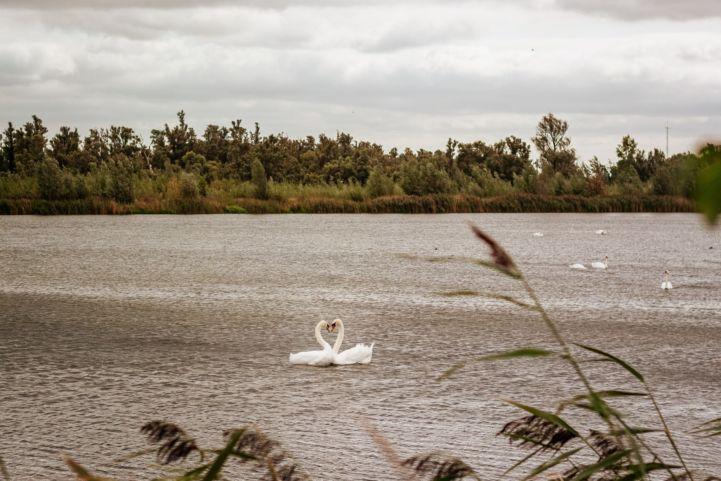 Zwanen in Nationalpark De Biesbosch, Nederland